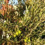 Olivenfrüchte