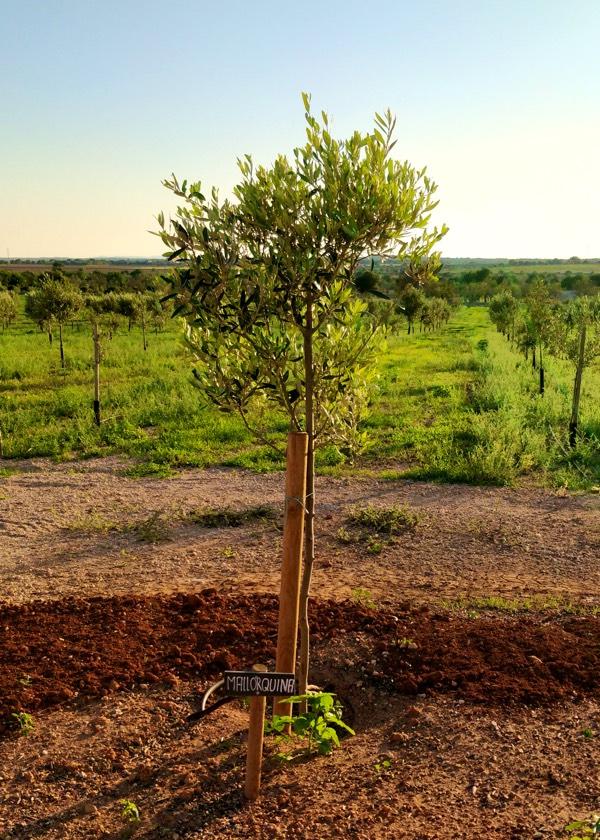 Olivenbaumsorte Mallorquina