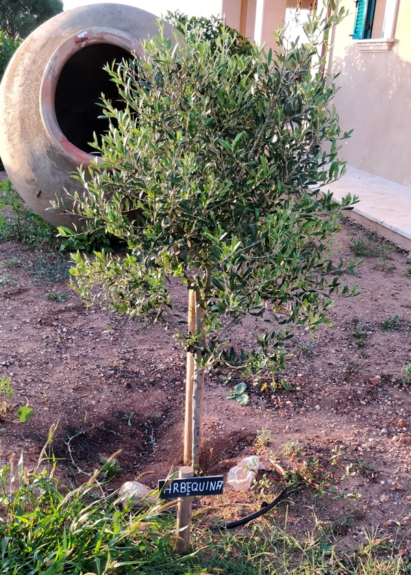 Olivenbaumsorte Arbequina