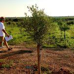 Olivenbaumsorte Picual