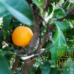 orange tree Mallorca
