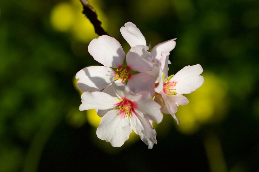 Mallorca Mandelbaum Mandelblüte