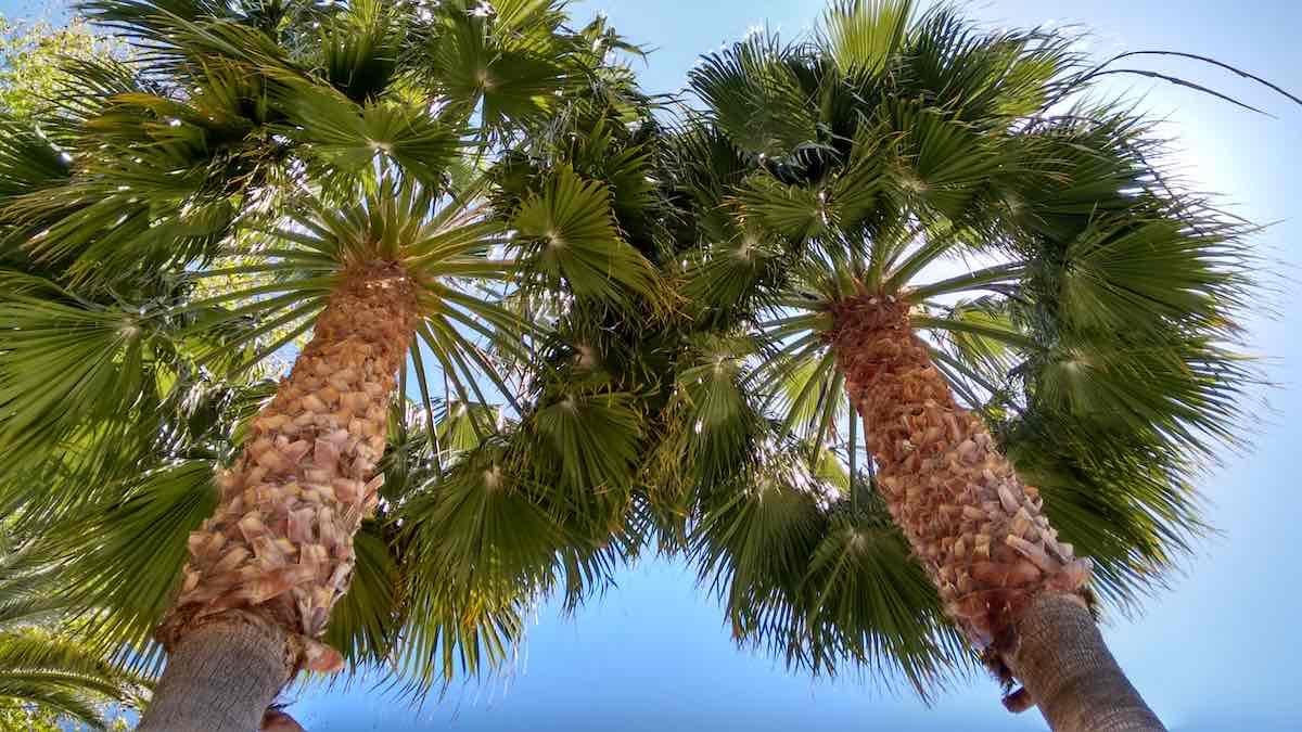 Palms Blue Sky Mallorca