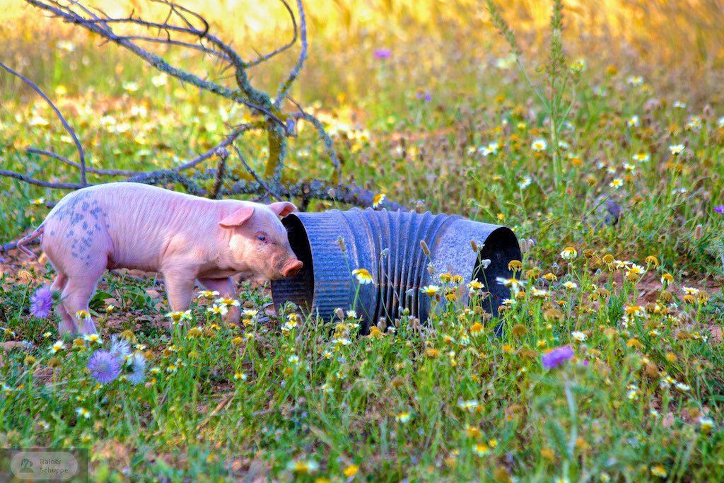 Schwein Mallorca